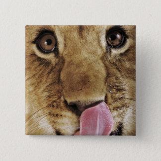 Lion cub (Panthera leo) licking nose, close-up Button
