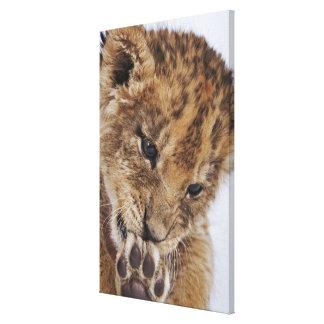 Lion cub (Panthera leo) licking paw, close-up Canvas Print