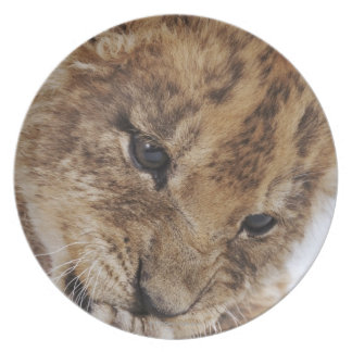 Lion cub (Panthera leo) licking paw, close-up Plate