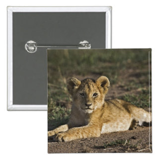 Lion cub, Panthera leo, lying in tire tracks, Button