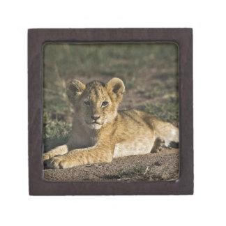 Lion cub, Panthera leo, lying in tire tracks, Keepsake Box