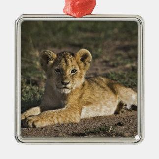 Lion cub, Panthera leo, lying in tire tracks, Metal Ornament