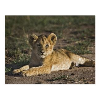 Lion cub, Panthera leo, lying in tire tracks, Postcards