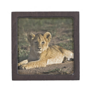Lion cub, Panthera leo, lying in tire tracks, Premium Gift Boxes