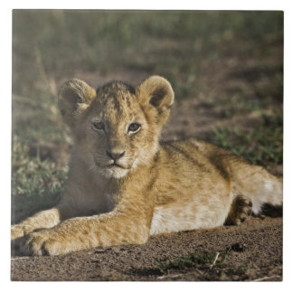 Lion cub, Panthera leo, lying in tire tracks, Tile