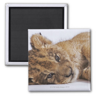 Lion cub (Panthera leo) lying on side, close-up Refrigerator Magnets