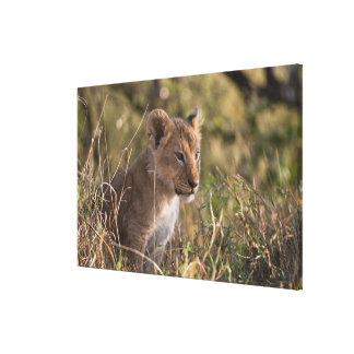 Lion cub (Panthera leo), Masai Mara National Gallery Wrap Canvas