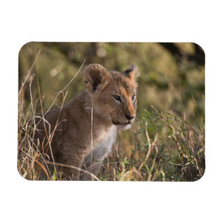 Lion cub (Panthera leo), Masai Mara National Magnet