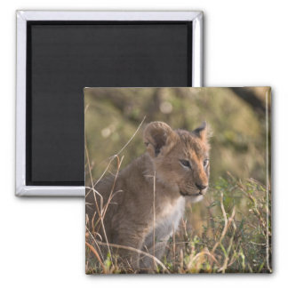 Lion cub (Panthera leo), Masai Mara National Magnet