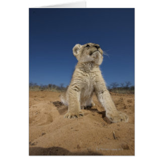 Lion Cub (Panthera Leo) sitting on sand, Namibia Card
