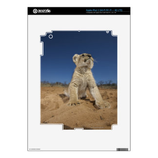 Lion Cub (Panthera Leo) sitting on sand, Namibia iPad 3 Decal