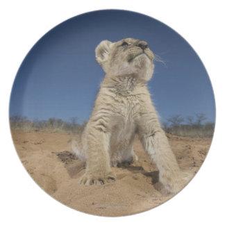 Lion Cub (Panthera Leo) sitting on sand, Namibia Plate