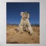 Lion Cub (Panthera Leo) sitting on sand, Namibia Poster