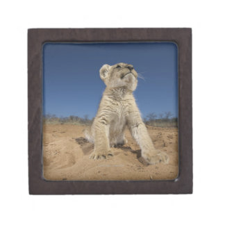 Lion Cub (Panthera Leo) sitting on sand, Namibia Premium Trinket Box
