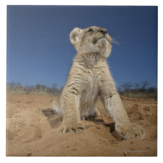 Lion Cub (Panthera Leo) sitting on sand, Namibia Large Square Tile