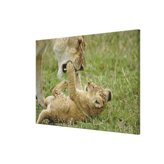 Lion cub playing with female lion, Masai Mara Gallery Wrapped Canvas