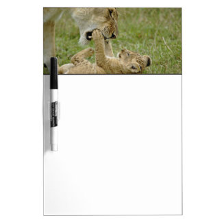 Lion cub playing with female lion, Masai Mara Dry Erase Board