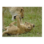 Lion cub playing with female lion, Masai Mara Post Cards