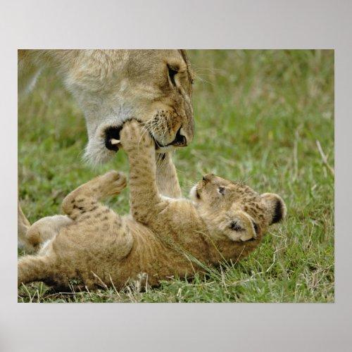 Lion cub playing with female lion Masai Mara Poster