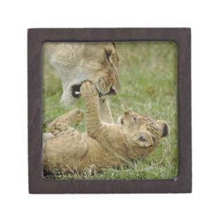 Lion cub playing with female lion, Masai Mara Premium Jewelry Boxes