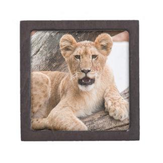 Lion cub premium gift boxes