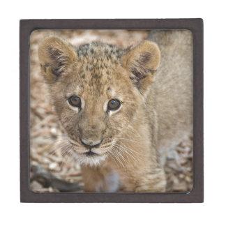 lion cub premium gift box