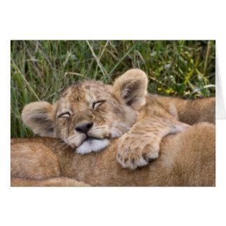 Lion Cub Siesta Cards