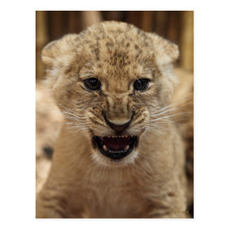 Lion cub snarling postcard