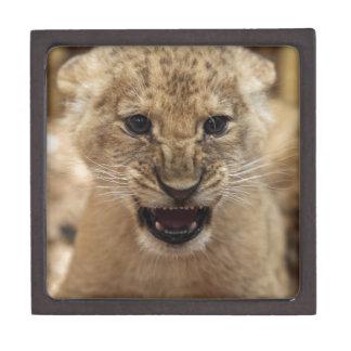 Lion cub snarling premium gift box