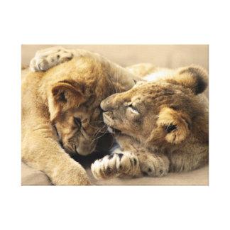 Lion cubs best friends stretched canvas print