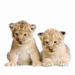 """Lion Cubs Key Chain Statuette<br><div class=""""desc"""">Photo by Eric Isselee,  I have permission to use. Made of acrylic with metal keyring. Final keychain size depends on cut-out size of your image.</div>"""