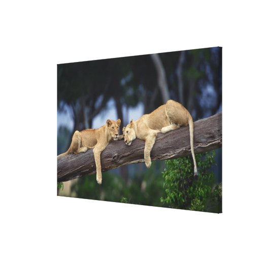 Lion cubs lying on tree branch , Kenya , Africa Gallery Wrapped Canvas