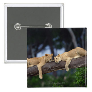 Lion cubs lying on tree branch , Kenya , Africa Pinback Button