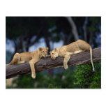 Lion cubs lying on tree branch , Kenya , Africa Postcard
