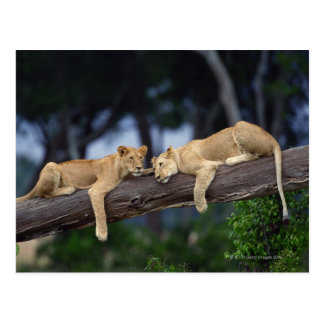 Lion cubs lying on tree branch , Kenya , Africa Postcard