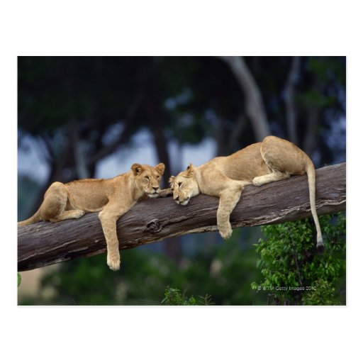 Lion cubs lying on tree branch , Kenya , Africa Post Cards