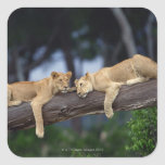 Lion cubs lying on tree branch , Kenya , Africa Square Sticker