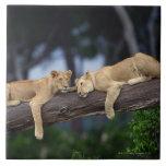Lion cubs lying on tree branch , Kenya , Africa Ceramic Tile