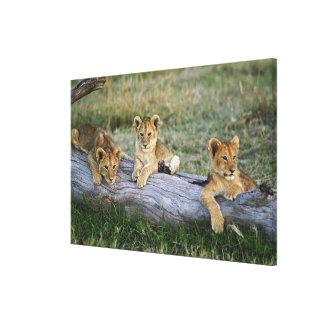 Lion cubs on log, Panthera leo, Masai Mara, 2 Stretched Canvas Prints