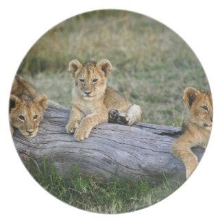 Lion cubs on log, Panthera leo, Masai Mara, 2 Plate