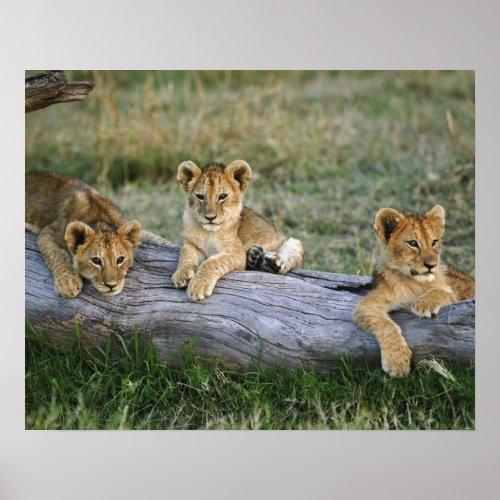 Lion cubs on log Panthera leo Masai Mara 2 Poster