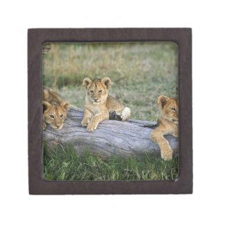 Lion cubs on log, Panthera leo, Masai Mara, 2 Premium Trinket Boxes