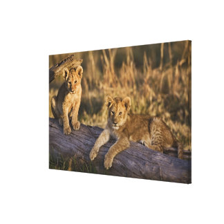 Lion cubs on log, Panthera leo, Masai Mara, 3 Gallery Wrap Canvas