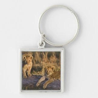 Lion cubs on log, Panthera leo, Masai Mara, 3 Keychain
