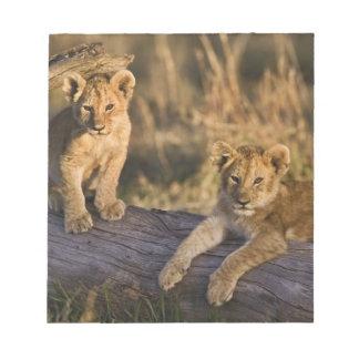 Lion cubs on log, Panthera leo, Masai Mara, 3 Notepad