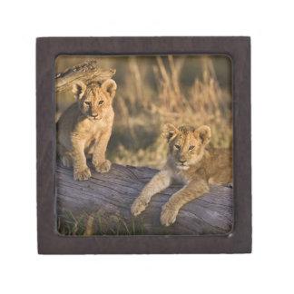 Lion cubs on log, Panthera leo, Masai Mara, 3 Premium Gift Box