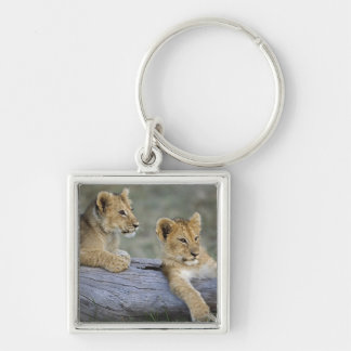 Lion cubs on log, Panthera leo, Masai Mara, Keychain