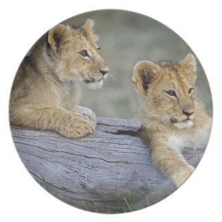 Lion cubs on log, Panthera leo, Masai Mara, Melamine Plate
