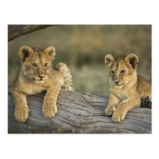 Lion cubs on log, Panthera leo, Masai Mara, Postcard