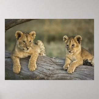 Lion cubs on log, Panthera leo, Masai Mara, Poster